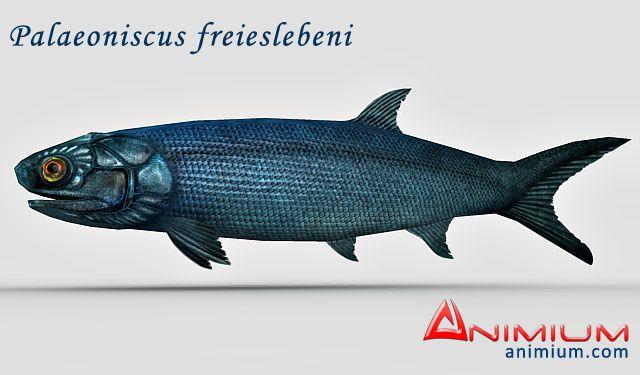 Palaeoniscus freieslebeni 3d model