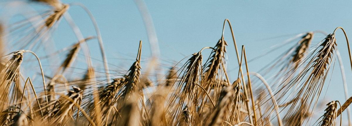 Altia Barley field 1