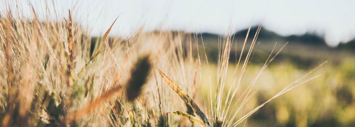 Barley at Ilmajoki
