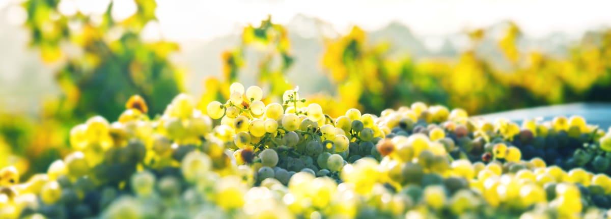 Anora - Raportit ja esitykset herokuva - lähikuva viinirypäleistä