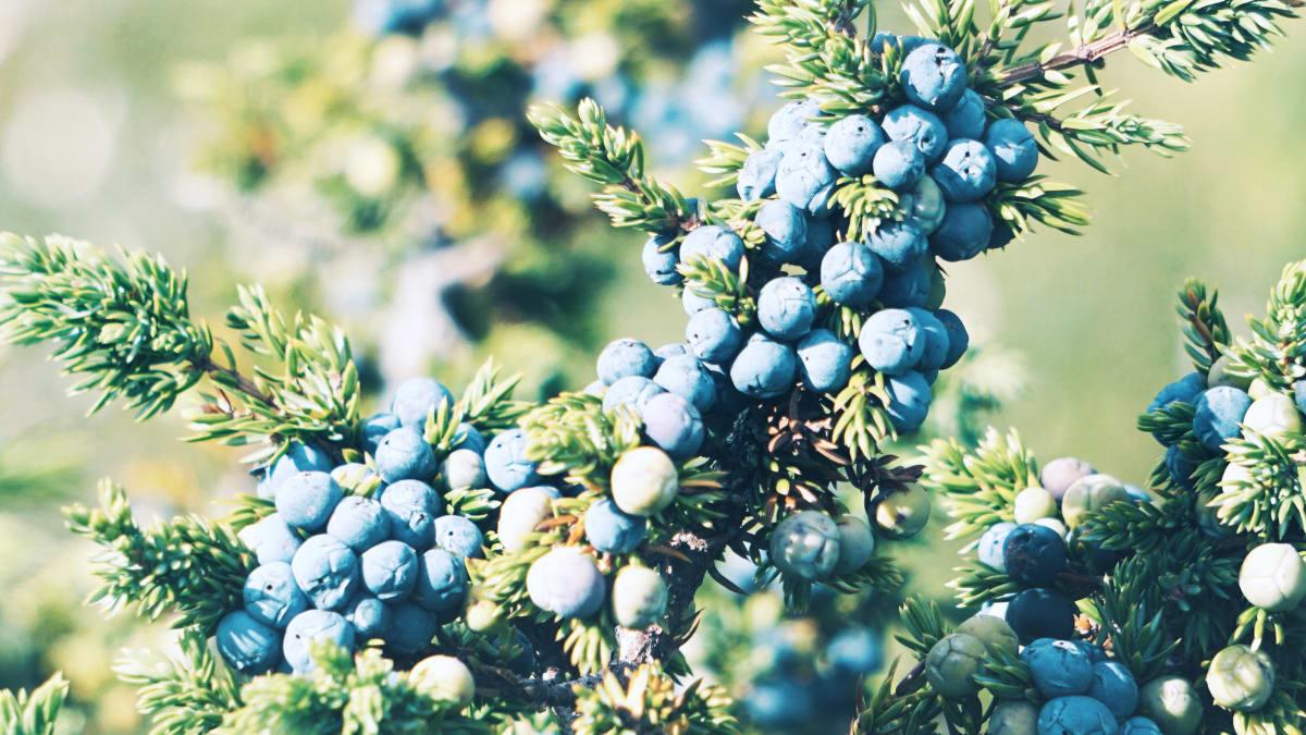 Anora brand - close up of juniper