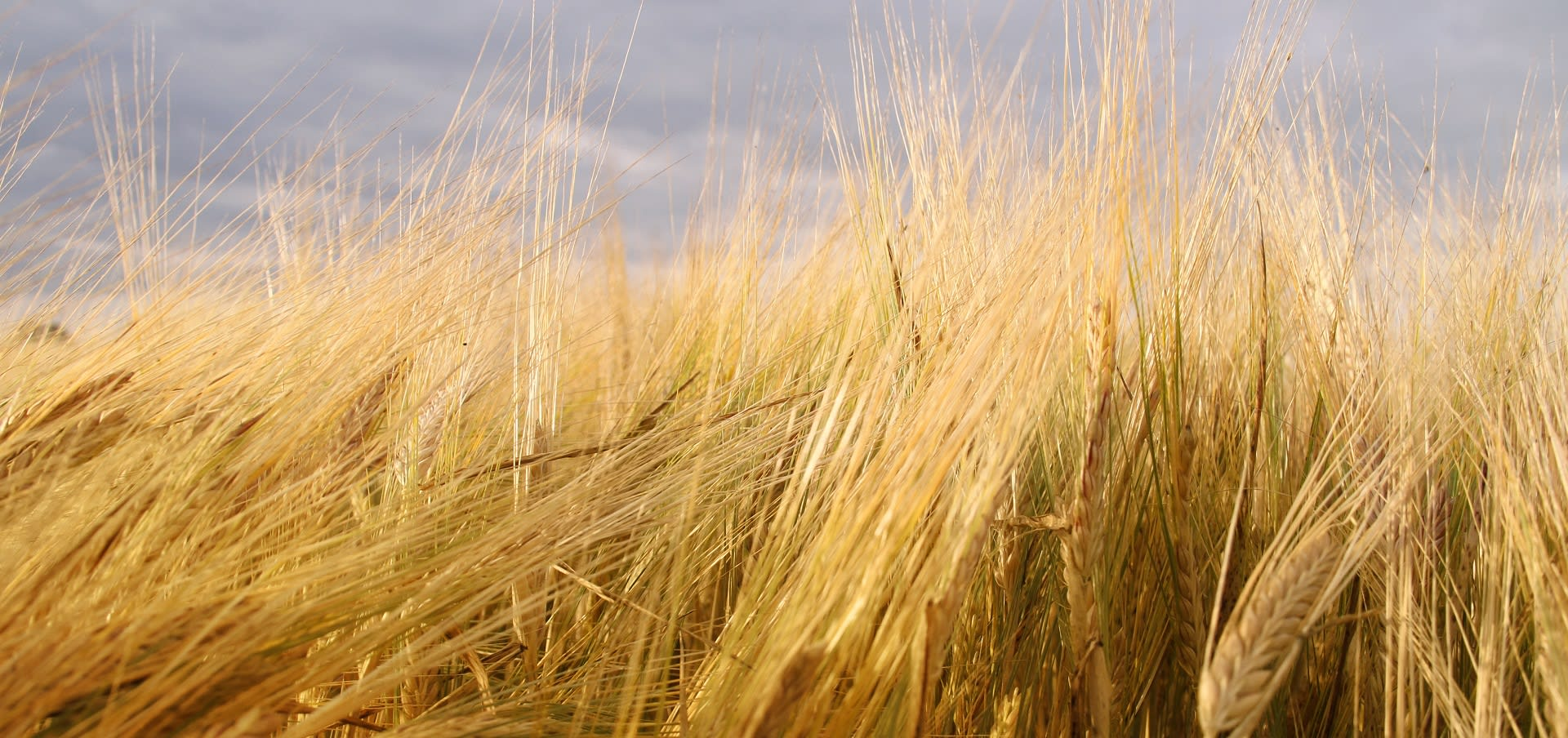 Barley in autumn