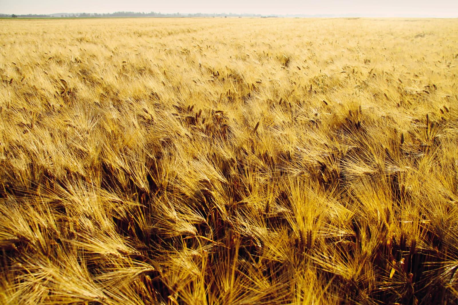 Koskenkorva barley field