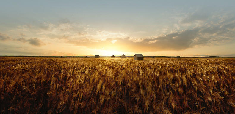 Barley fields in the summer
