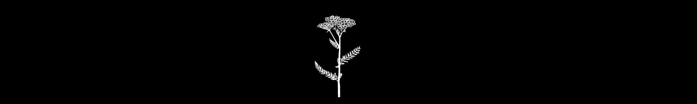 Valhalla herb - Achillea millefolium