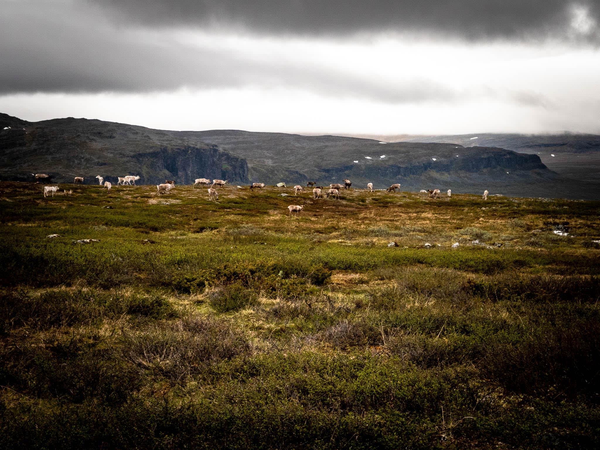 Nordic Nature Wild Reindeer