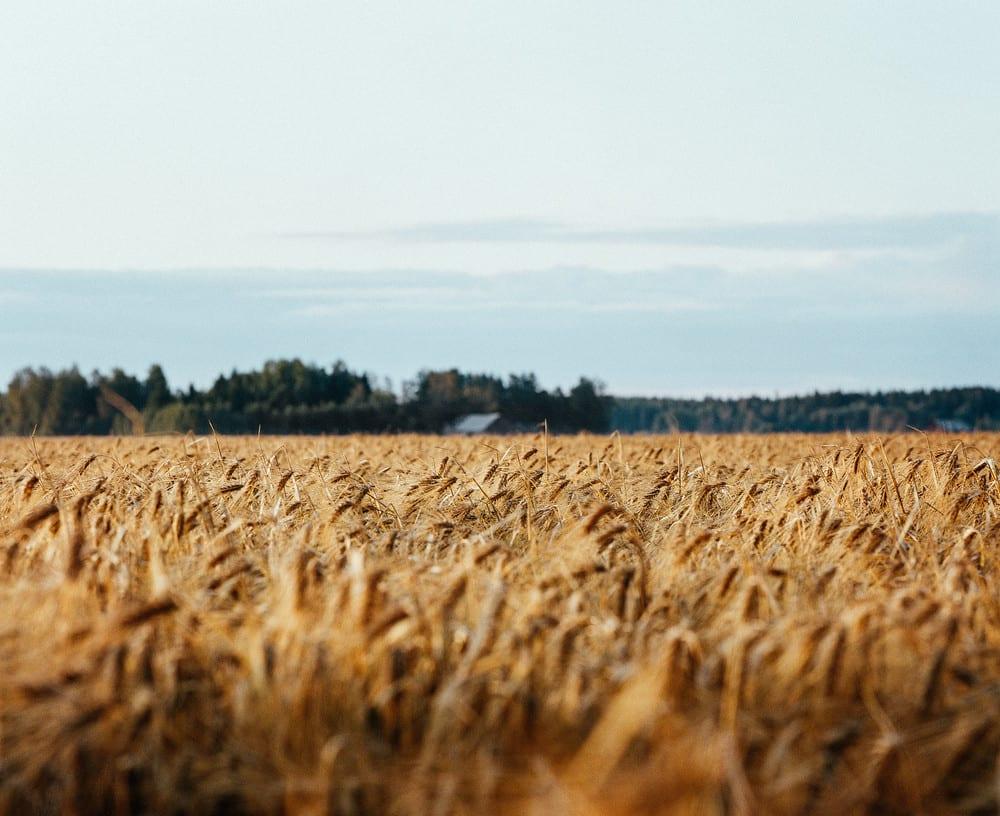 Koskenkorva Vodka Climate Action Barley Field