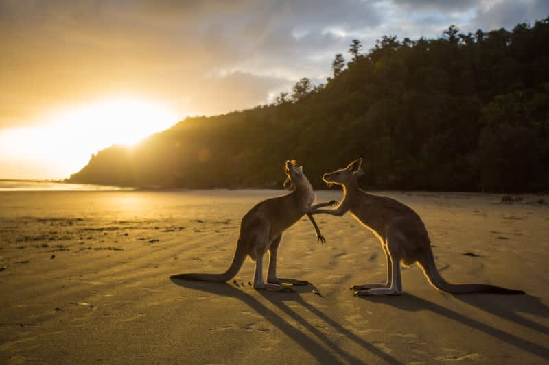 Dva klokani na australské pláži
