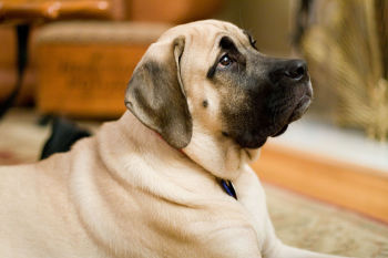 Top 10 Dog Breeds For Apartments