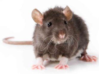 Patkány, Patkányirtás
