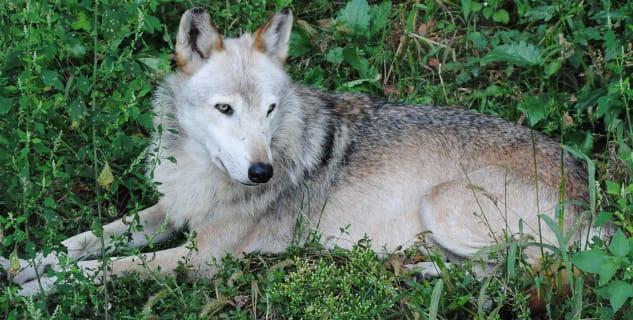Vlk v zoo Osijek - https://www.flickr.com/photos/photographysdr/16398079495/in/photolist-q3fBWF-qGtYRj-qGsJSs-qZ3soi-qZ3rJx-q339ao