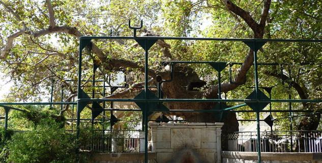 Hippokratův strom - https://commons.wikimedia.org/wiki/File:Tree_of_Hippocrates_2008.jpg
