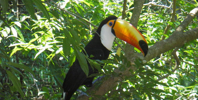 Tukan, Amazonie, ilustrační foto i Pračímu parku - https://commons.wikimedia.org/wiki/File:Toco_toucan_foz.jpg
