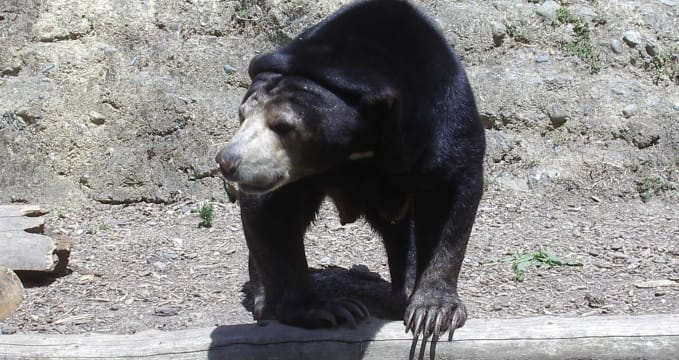 Medvěd ve Wellingtonské Zoo - https://commons.wikimedia.org/wiki/File:Wellington_Zoo_Sun_Bear.JPG
