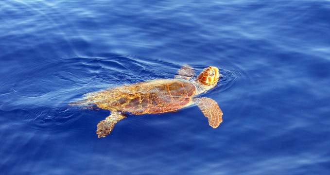 Caretta Caretta - https://www.flickr.com/photos/live-zakynthos/4300133049