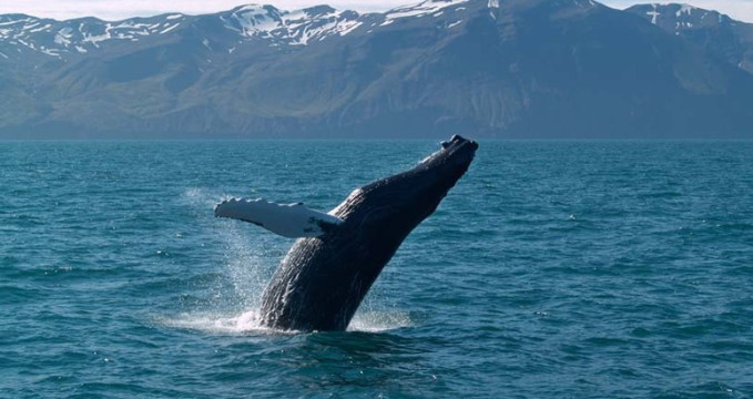 Pozorování velryb na Isladnu - https://www.flickr.com/photos/linaigrette/7905265722