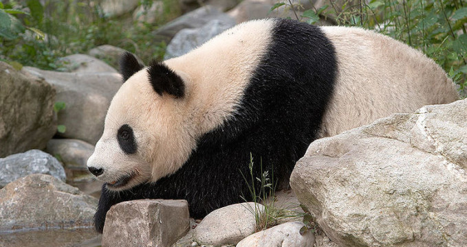Panda ve vídeňské ZOO - http://commons.wikimedia.org/wiki/File:Panda_Vienna.jpg