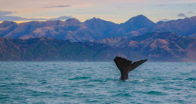 Whale in Kaikoura - https://www.flickr.com/photos/91425144@N04/19622950269