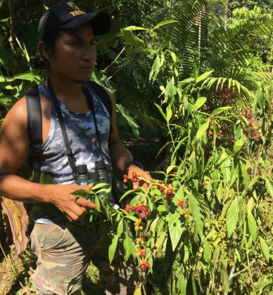 Chacruna je jedna z nejčastějších rostlin přidáváná k Ayahusce