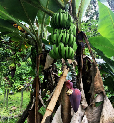 Banánovník a denně čerstvé a sladké banány