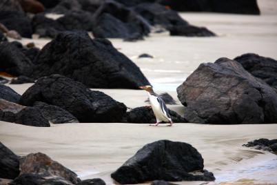 Penguin na poloostrově Otago - https://www.flickr.com/photos/dunedinnz/5010331330