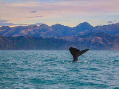 Whale in Kaikoura - https://www.flickr.com/photos/91425144@N04/19622950269