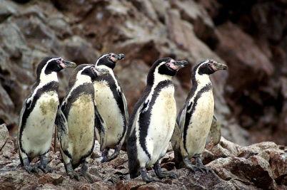 tučňáci na Islas Ballestas - https://commons.wikimedia.org/wiki/File:Spheniscus_humboldti,_Islas_Ballestas_10.jpg