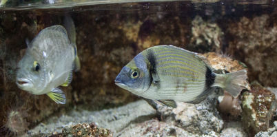 Akvárium v Rhodu - https://commons.wikimedia.org/wiki/File:Rhodes_Aquarium_-_Diplodus_annularis.jpg?uselang=cs