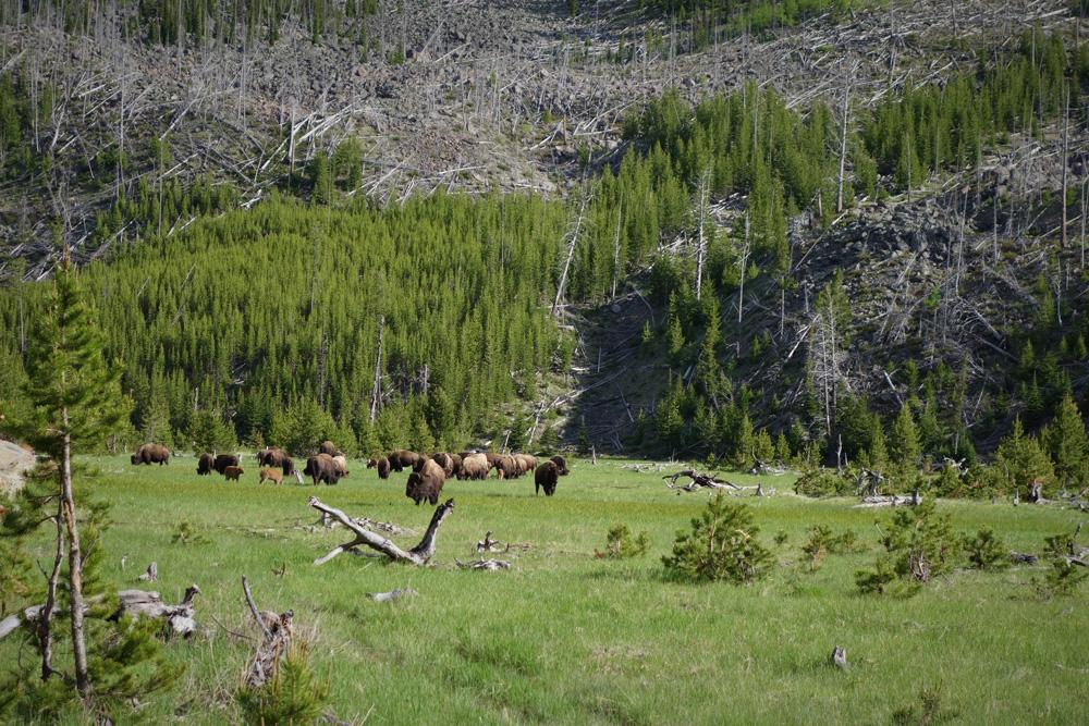 Bizoni v Národním Parku Yellowstone