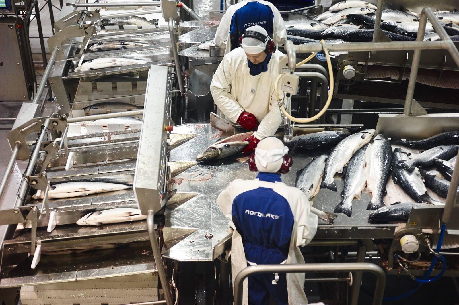 To fabrikkarbeidere sløyer laks. Foto: Øivind Haug