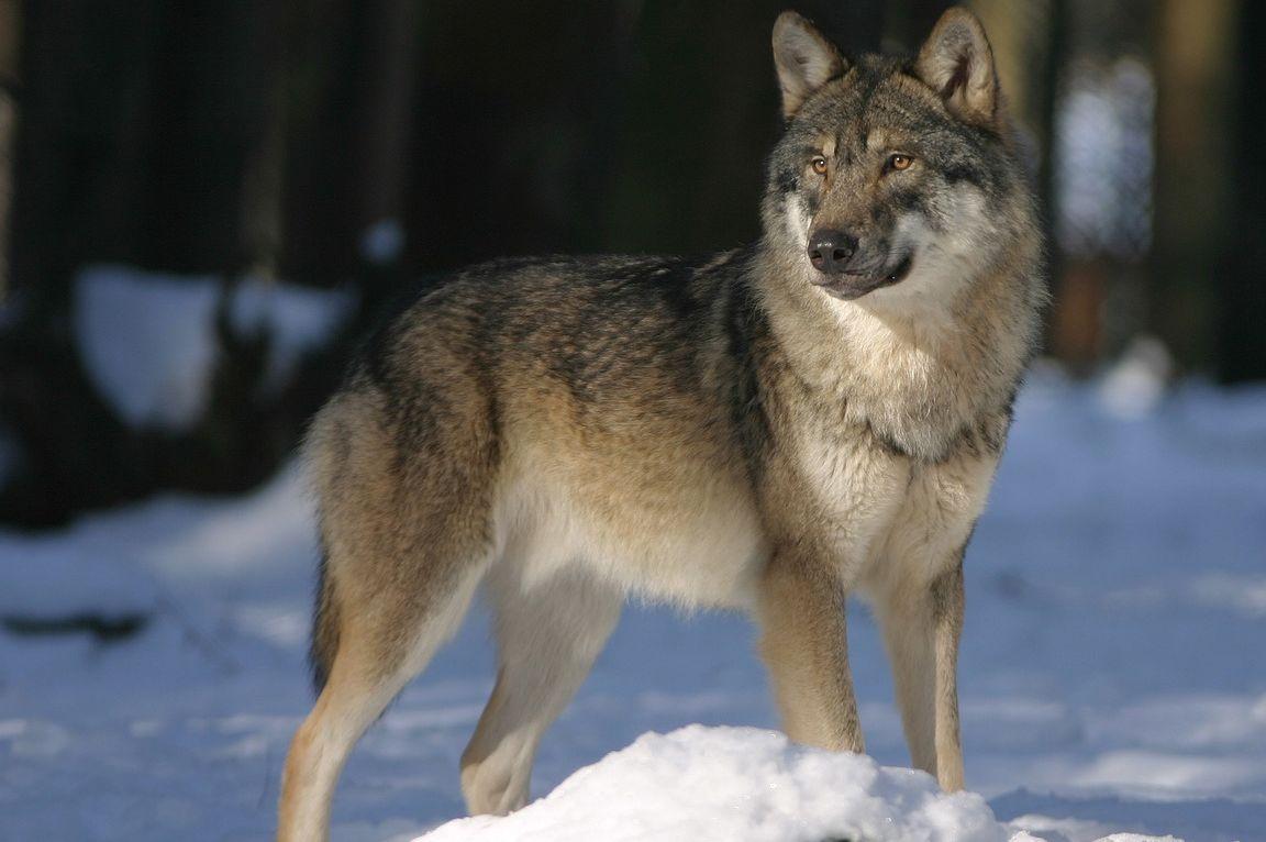 wolf-725388_1280