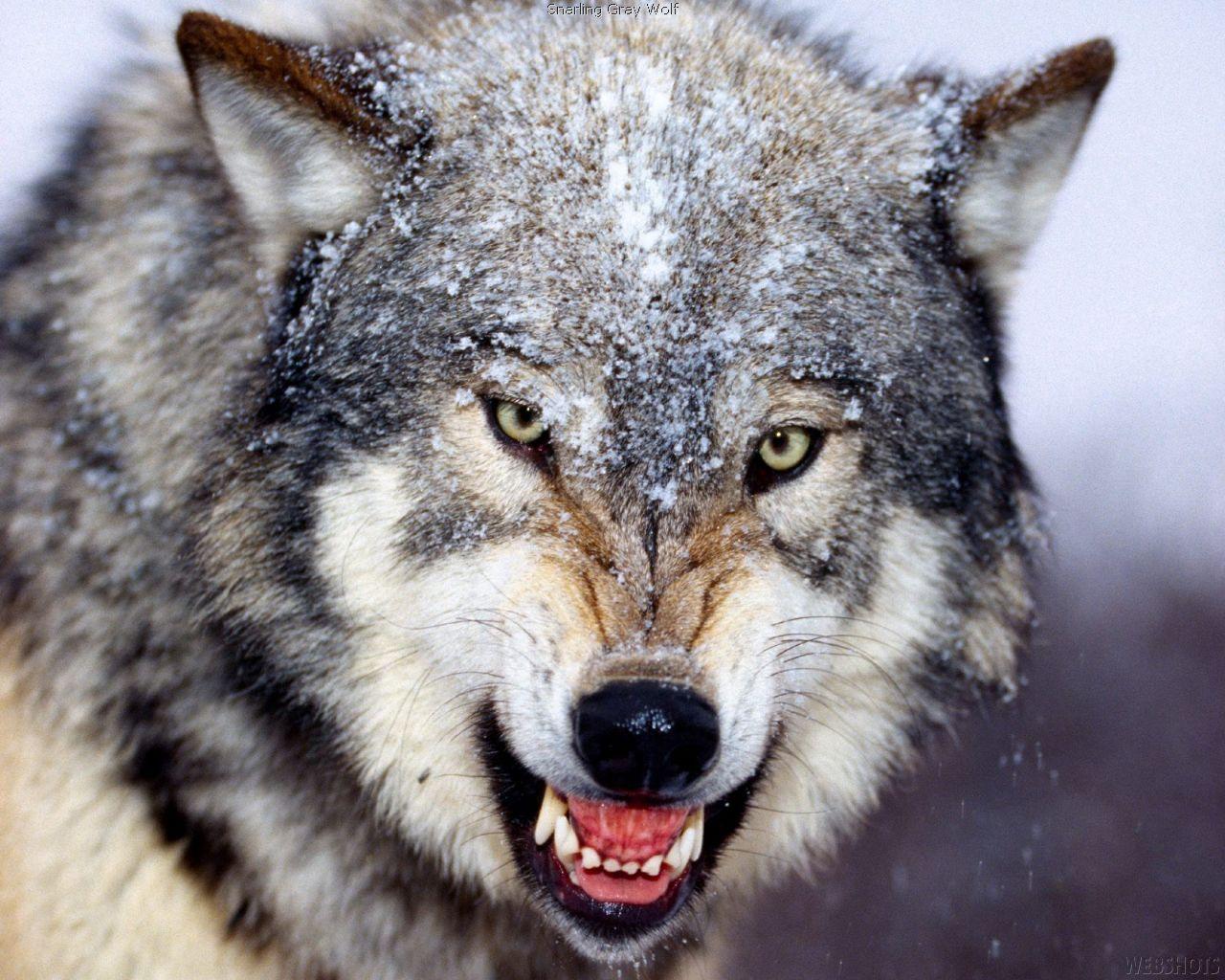 Illustrasjonsbilde fra All-about-wolves.com