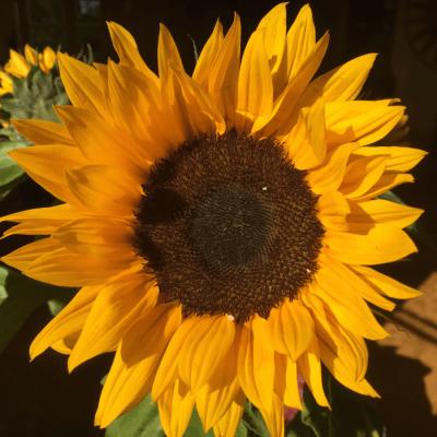 ArboLife-events-fleur-deveil-tournesol