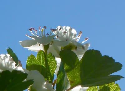 ArboLife-events-fleur-deveil-aubepine