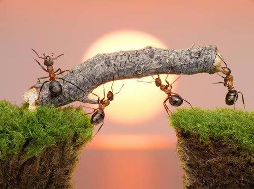 ants twig bridge