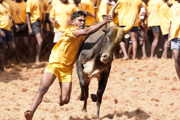 Jallikattu-_A_Tamil_brave_sport_which_is_been_playing_over_many_years