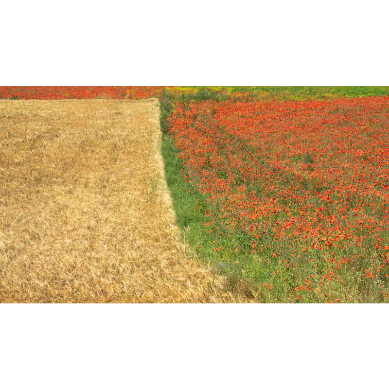 products/jay-mcdonald-poppies-in-provence.jpg