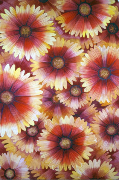 Blanket Flower I