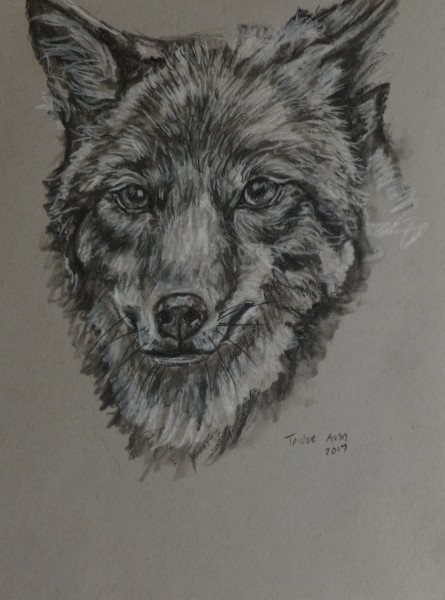 Coyote Face Study