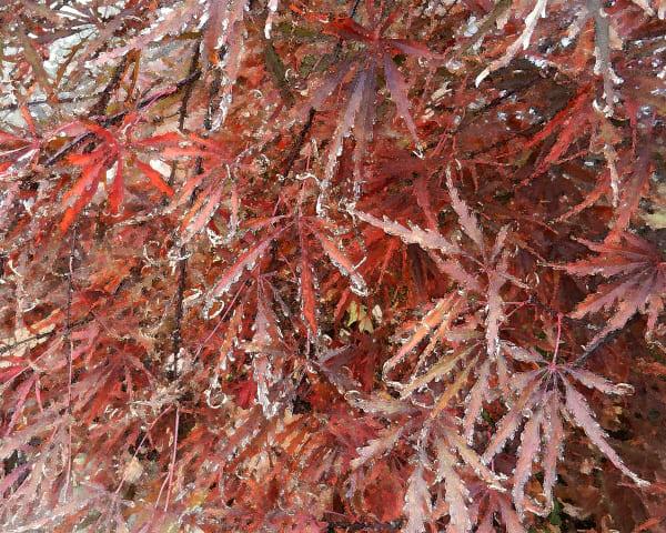 Cut Leaf Maple 3