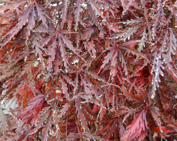 Cut Leaf Maple 4