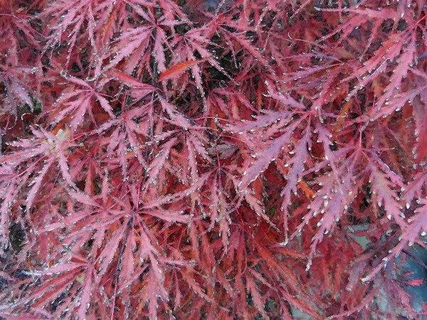Cut Leaf Maple 8