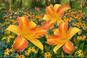 140101 ahern frans hals daylilies w rudbeckia 960px72 nycsv0