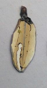 Pohutukawa Leaf .  419