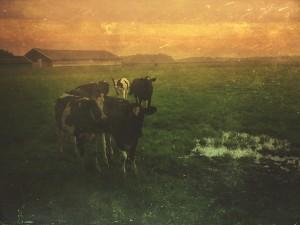 20170922 cows rxrfhd