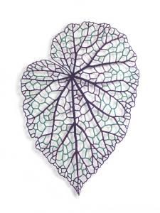 Begonia Leaf #2