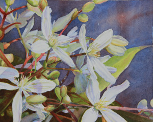 Evergreen clematis ii jzdphl