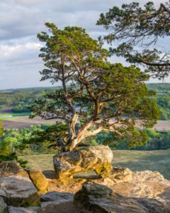 The Tree: Gibraltar Rock