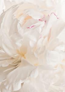 Snap2013-davidroddis-whitepeony-catalogue-5x7_xtt4mo