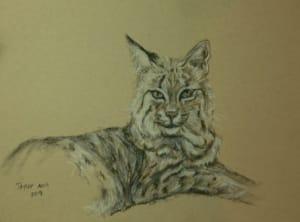 Bobcat Study